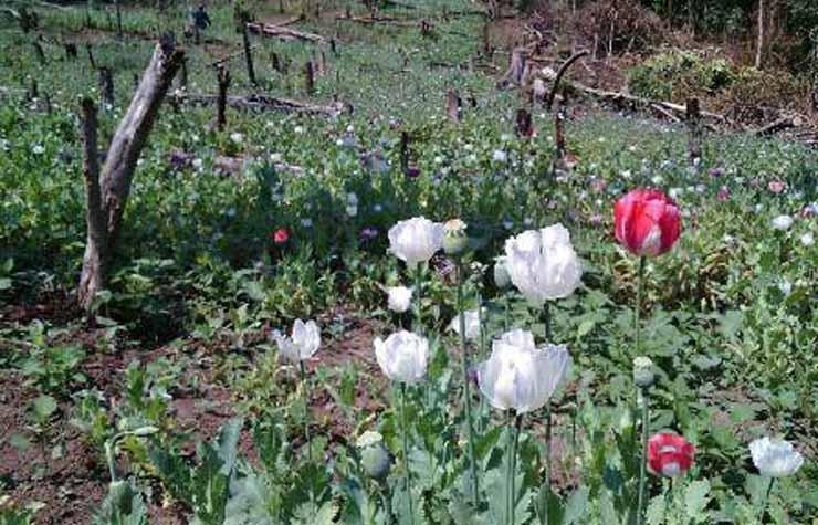 ดอกฝิ่นบานสะพรั่งกลางหุบเขาท่าสองยาง เจ้าหน้าที่บุกทำลายราบ 3 ไร่