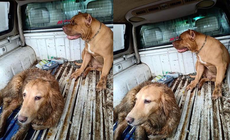 ประกาศตามหาเจ้าของสุนัขพันธ์พิทบูล,โกลเด้น โดนรถชนหน้าป่าไม้
