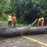 ฝนตกหนักจนต้นไม้ใหญ่อายุกว่า 100 ปีล้มทับเส้นทาง แม่สลิดหลวง-แม่ระเมิง